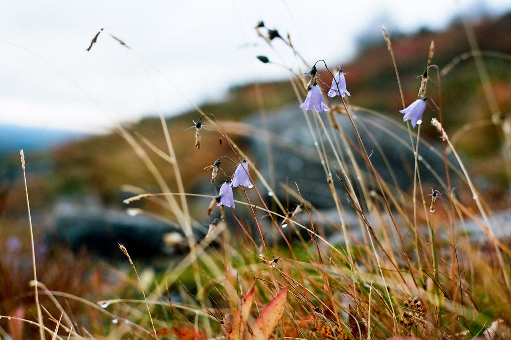 Последние цветы в тундре